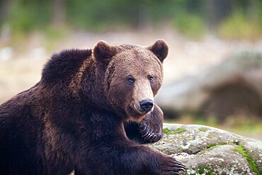 Brown bear portrait in the wilderness, Carpathian mountains, Romania, Europe