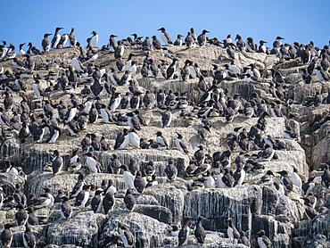 Colony of Common Guillemots (Uria aalge) at Inner Farne Island, Farne Islands, Northumberland, England, United Kingdom, Europe