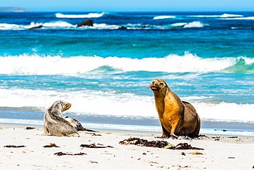 Australian Sea Lions (Neophoca cinerea), on Seal Bay, Kangaroo Island, South Australia, Australia, Pacific