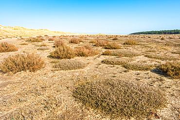 Desert flora near sand dunes on Holkham Bay, North Norfolk coast, Norfolk, East Anglia, England, United Kingdom, Europe