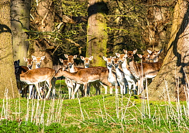 Fallow deer in the woods at Holkham Park, near the North Norfolk Coast, Norfolk, East Anglia, England, United Kingdom, Europe