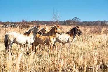 Wild Konik horses at the riverbank on Wicken Fen, Wicken, near Ely, Cambridgeshire, England, United Kingdom, Europe