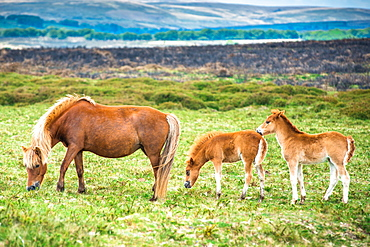 Two Dartmoor pony foals with mare in Dartmoor National park in Devon, England, United Kingdom, Europe