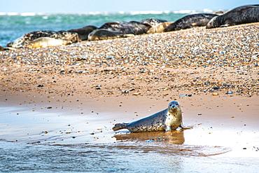 Grey seals and Common (Harbour) seals (Phoca vitulina) on beach at Blakeney Point, Norfolk, England, United Kingdom, Europe