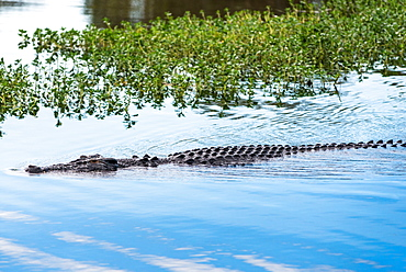 Saltwater crocodile in Yellow Water billabong and wetland, Kakadu National Park, Northern Territory, Australia, Pacific