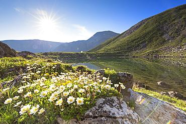 Summer blooms at Lej da Prastinaun, Arpiglia Valley (Val Arpiglia), Engadine Valley, Graubunden, Switzerland, Europe