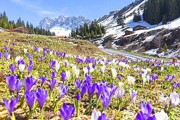 Flowering of crocus in Partnun, Prattigau valley, District of Prattigau/Davos, Canton of Graubunden, Switzerland, Europe