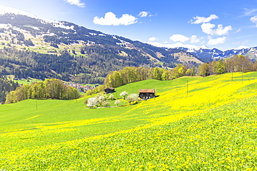 Spring blooms in Sankt Antonien, Prattigau valley, District of Prattigau/Davos, Canton of Graubunden, Switzerland, Europe