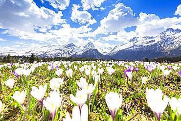 Flowering of crocus at Alp Flix, Sur, Surses, Parc Ela, Region of Albula, Canton of Graubunden, Switzerland, Europe