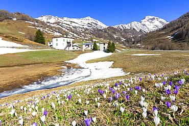 Flowering of Crocus nivea at alpine huts at Bernina Pass, Valposchiavo, Canton of Graubunden, Switzerland, Europe
