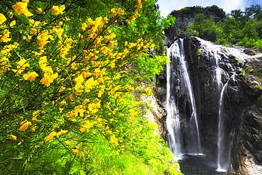 Mimosa flowering at the Cascata del Salto (Waterfall of Maggia), Maggia, Valle Maggia, Canto of Ticino, Switzerland, Europe