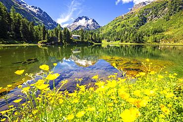 Summer flowers at Lake Cavloc, Forno Valley, Maloja Pass, Engadine, Graubunden, Switzerland, Europe