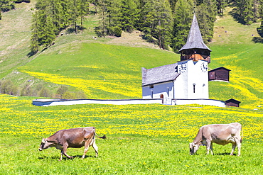 Cow grazing in front of the church of Davos Frauenkirch, Parc Ela, Prettigau/Davos, Graubunden, Switzerland, Europe