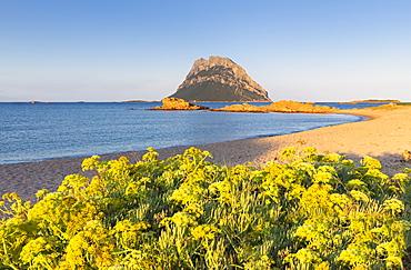 Wild yellow flowers on the beach of Punta Don Diego, Porto Taverna, Loiri Porto San Paolo, Olbia Tempio province, Sardinia, Italy, Mediterranean, Europe