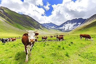 Cows grazing in Malatra Valley, Ferret Valley, Courmayeur, Aosta Valley, Italy, Europe