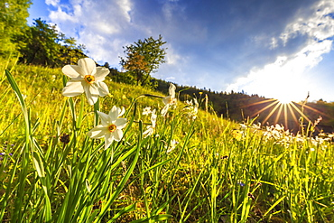 Flowering of daffodils in the Orobie Alps, Valtellina, Lombardy, Italy, Europe