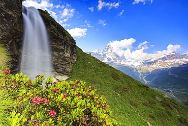Rhododendron blooms at the foot of a waterfall overlooking the Matterhorn, Cervinia, Valtournanche, Aosta Valley, Italy, Europe