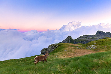 Young ibex walks in the grass with clouds in the background, at sunset, Valgerola, Orobie Alps, Valtellina, Lombardy, Italy, Europe