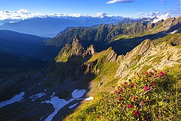 Rhododendrons flowering with Rhaetian Alps in the background, Valgerola, Orobie Alps, Valtellina, Lombardy, Italy, Europe