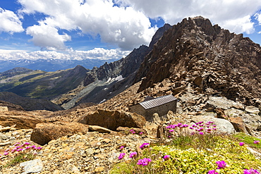 Wild flowers near the Desio hut, Valmalenco, Valtellina, Lombardy, Italy, Europe