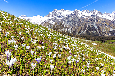 Flowering of Crocus nivea in Val Fex (Fex Valley), Engadine, Canton of Grisons (Graubunden), Switzerland, Europe