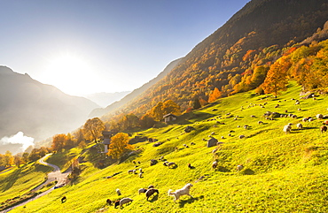 Grazing of sheep in the meadows with a white dog in autumn, Soglio, Bregaglia valley, Graubunden, Switzerland, Europe