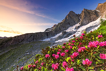Flowering rhododendrons with the famous Pizzo Badile in the background at sunrise, Bregaglia valley, Graubunden, Switzerland, Europe