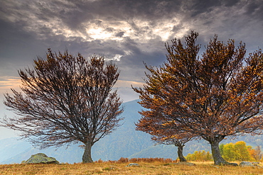 Three trees at sunset in autumn, Lombardy, Italy, Europe