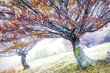 Two trees with orange leaves in the fog, Lombardy, Italy, Europe