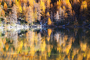 Yellow larches reflected in the water of the lake, Azzurro Lake, Valchiavenna, Valtellina, Lombardy, Italy, Europe
