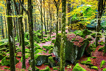 Forest of Bagni di Masino with autumn colors, Valmasino, Valtellina, Lombardy, Italy, Europe