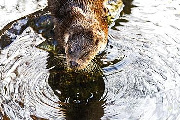 European Otter (Lutra lutra) on a pond, Tyrol, Austria, Europe