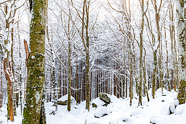Forest of Bagni di Masino after a snowfall, Bagni di Masino, Valmasino, Valtellina, Lombardy, Italy, Europe - 1269-668