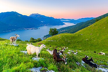 Goats at pasture eating and Lake Como at sunrise, Musso, Lake Como, Lombardy, Italian Lakes, Italy, Europe
