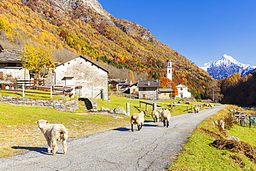 Sheep walk on the road near a mountan village, Val Bodengo, Valchiavenna, Valtellina, Lombardy, Italy, Europe