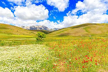 Blossoms in the lentil fields of Santo Stefano di Sessanio, Abruzzo, Italy, Europe