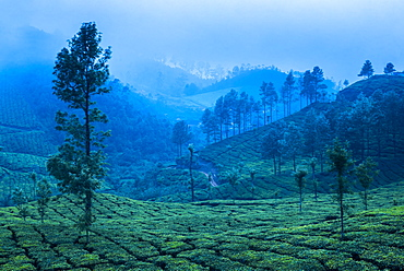 Tea plantations, Munnar, Western Ghats Mountains, Kerala, India, Asia