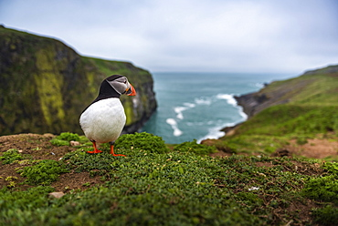 Puffin at the Wick, Skomer Island, Pembrokeshire Coast National Park, Wales, United Kingdom, Europe
