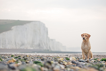 Golden labrador on the pebble beach at Cuckmere Haven with the Seven Sisters chalk cliffs behind, South Downs National Park, East Sussex, England, United Kingdom, Europe