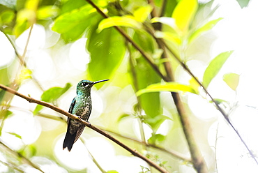 Hummingbird in the Monteverde Cloud Forest, Puntarenas Province, Costa Rica, Central America