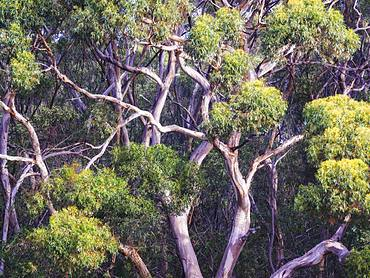 Abstract details of eucalyptus trees (gum trees) in Australia, Pacific