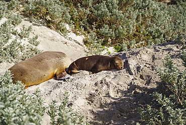 Wild baby Australian Sea Lion resting on sand in the Seal Bay Conservation Park, Kangaroo Island, Australia, Pacific