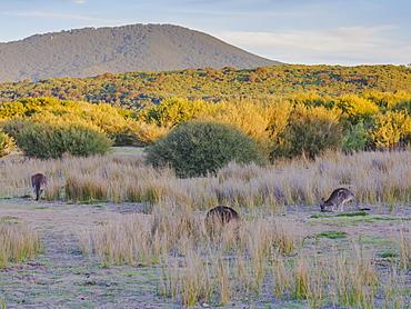Wild kangaroos in the Wilsons Promontory National Park, Victoria, Australia, Pacific