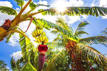 Banana tree in Vinales, UNESCO World Heritage Site, Pinar del Rio Province, Cuba, West Indies, Caribbean, Central America