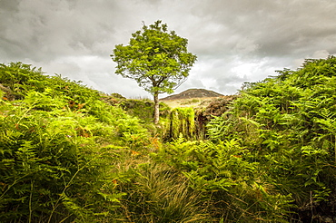 Lone tree, bracken and Bleaberry Fell, Central Lake District, Cumbria, England, United Kingdom, Europe - 1282-17