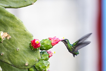 Humming bird drinking from a cactus, Vinales, UNESCO World Heritage Site, Cuba, West Indies, Caribbean, Central America