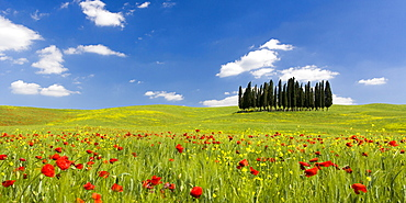 Panoramic view of Cypress trees and poppies on green field with blue cloudy sky near San Quirico d'Orcia, Val d'Orcia, UNESCO World Heritage Site, Tuscany, Italy, Europe