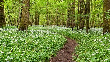 A winding footpath in the garlic woods near Lennox Castle in Lennoxtown, East Dunbartonshire, Scotland, United Kingdom, Europe - 1287-115