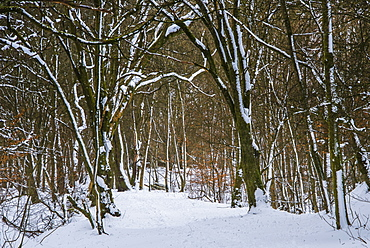 A wintery scene in a woodland on the outskirts of Lennoxtown, captured during a break in the blizzard conditions, East Dunbartonshire, Scotland, United Kingdom, Europe