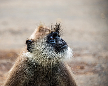 The tufted gray langur (Semnopithecus priam) (Madras gray langur) photographed in Sri Lanka, Asia